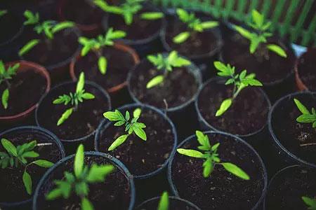 室内有机的番茄苗