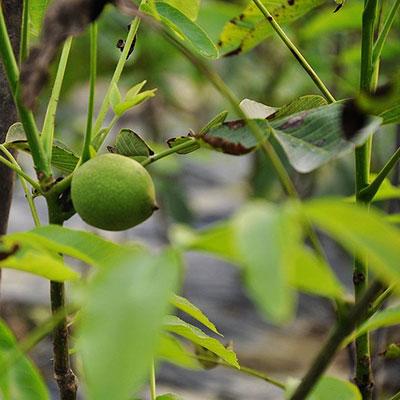 庭院果树苗