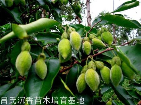 沉香樹種子5個種植技術步驟