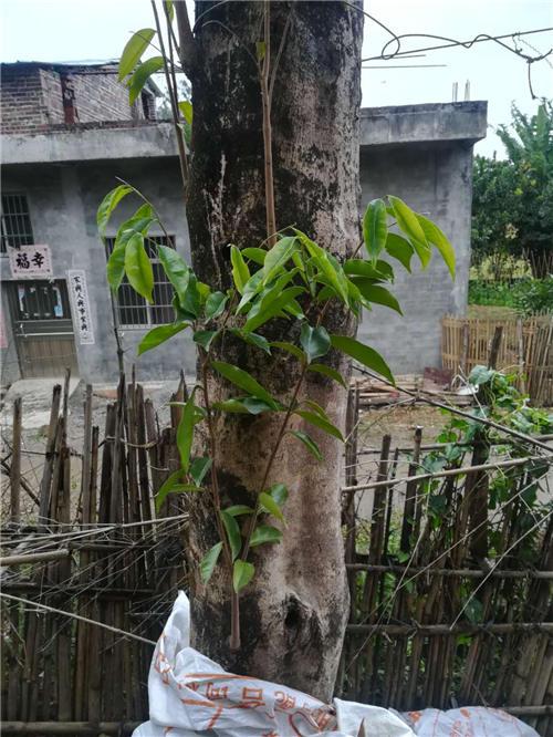 野生沉香树