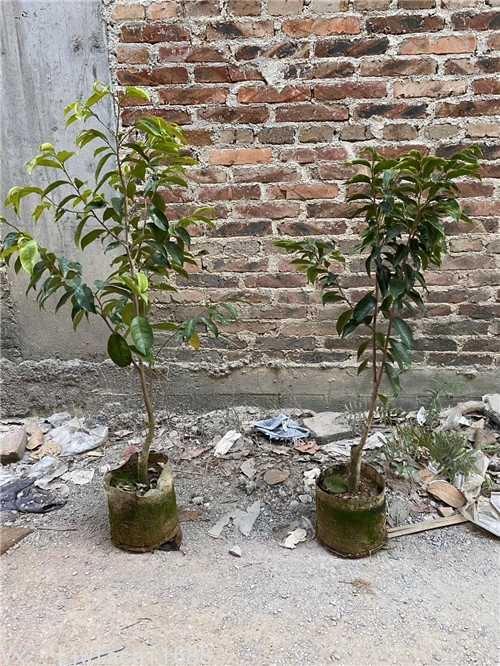 綠奇楠中木一代苗