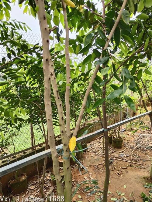 白奇楠沉香樹圖片