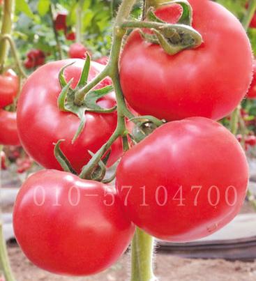 奇秀1号番茄种子|耐早晚疫病番茄种子 西红柿种子 耐热抗病