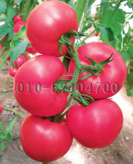 多粉2号番茄种子|抗TY病毒 西红柿种子  硬度好