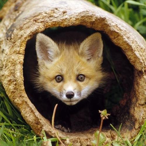 放生狐狸,弘法阁放生狐狸,放生灵狐,放生野生狐狸,救助野生狐狸