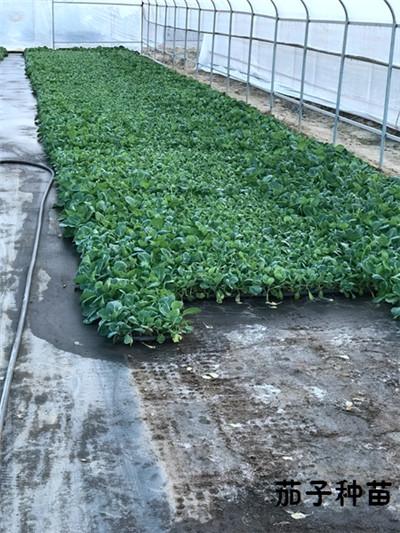 大棚蔬菜种苗