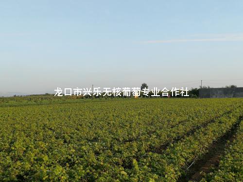合作社自产优质葡萄苗